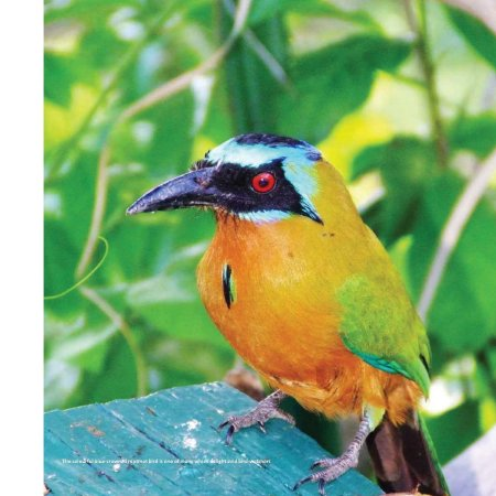 Close-up of a blue-crowned motmot bird, from the Land of the Double Chaconia subsection of the Eco-Systems and Natural Wonders segment.